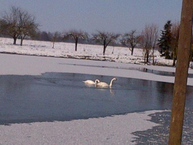 Schwanenbad im Eisteich - Brrrrrr